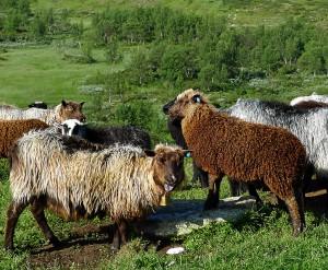 Gammelnorsk spelsau gir både unikt kjøtt, spesiell ull og vame skinn.